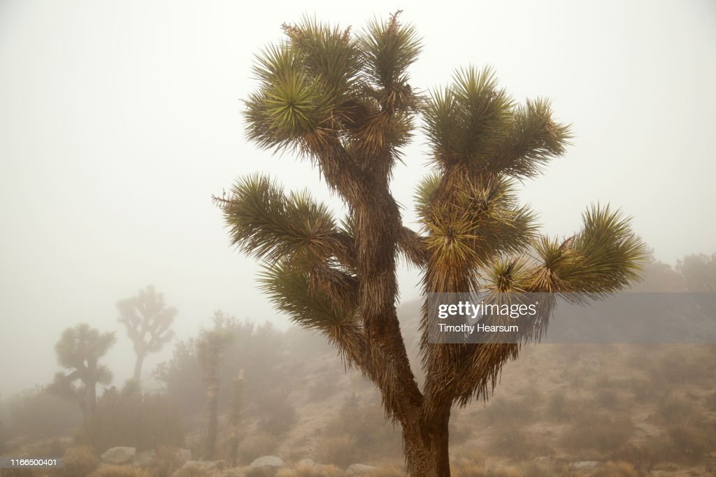 Joshua Trees and other desert plants on a hillside in the fog : Stock Photo
