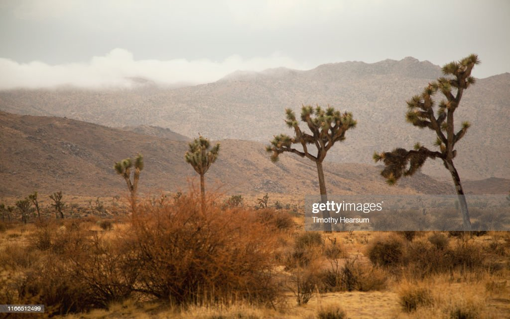 Joshua Trees and other desert plants with fog bank rolling in over mountains beyond : Stock Photo