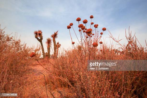 Joshua Trees and vegetation are colored from Phos-Chek fire retardant used to save nearby homes as the Bobcat fire continues to burn in the Angeles...
