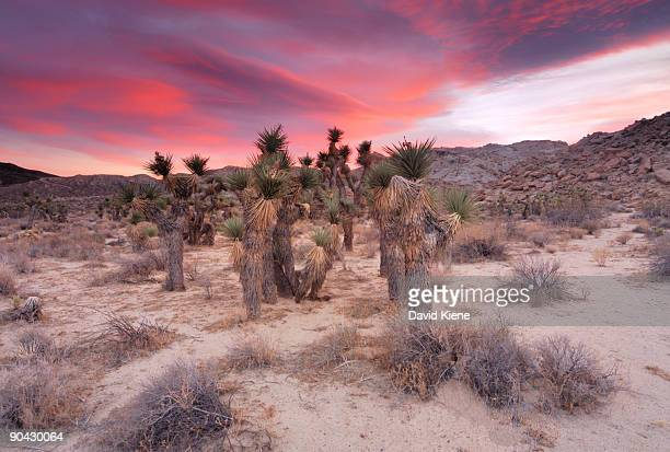 Joshua Trees at Red Rock Canyon State Park