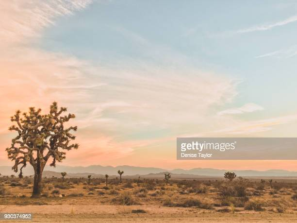 joshua trees at sunrise - joshua tree stock photos and pictures