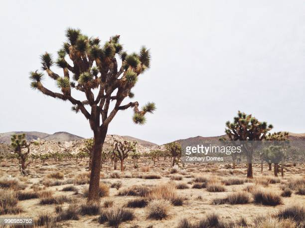 joshua trees in a barren landscape. - tropical bush stock photos and pictures