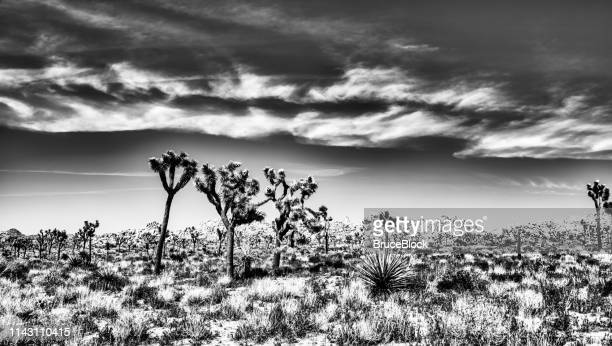 joshua trees in bloom in black and white - joshua stock pictures, royalty-free photos & images