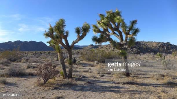 Joshua trees in Joshua Tree National Park in Joshua Tree, California on February 26, 2020.