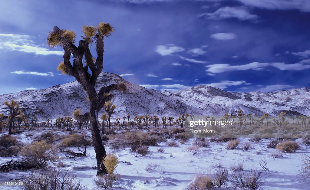 Joshua Trees in Snow and Infrared : Stock Photo