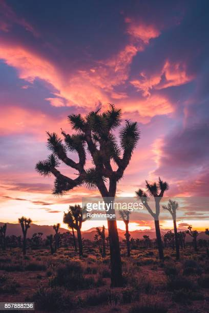 joshua trees in stormy spring sunset - joshua tree stock photos and pictures