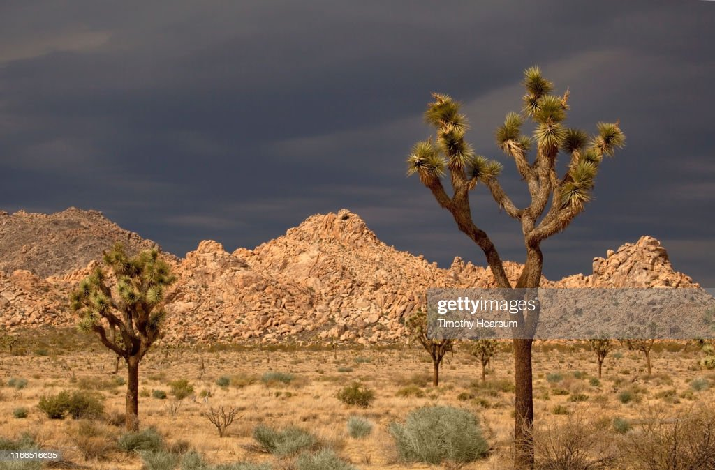 Joshua Trees in sunlight; boulders, mountains and dramatic dark sky beyond : Stock Photo
