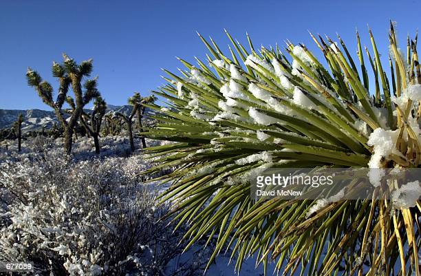 Joshua trees in the desert near Pinon Hills CA are covered with snow January 28 as a storm moves out of southern California leaving skies of blue The...