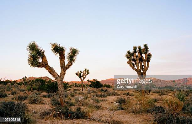 Joshua Trees in the landscape