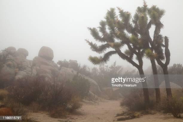 joshua trees, other desert plants and boulders along a trail in the fog - timothy hearsum bildbanksfoton och bilder