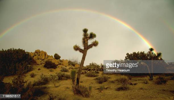 joshua trees, other desert plants and boulders with gray sky and complete rainbow beyond - timothy hearsum stock pictures, royalty-free photos & images
