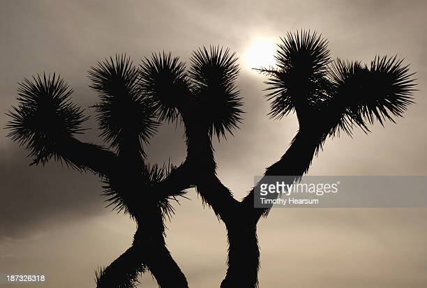 joshua trees with sun burning through the clouds - timothy hearsum stock-fotos und bilder
