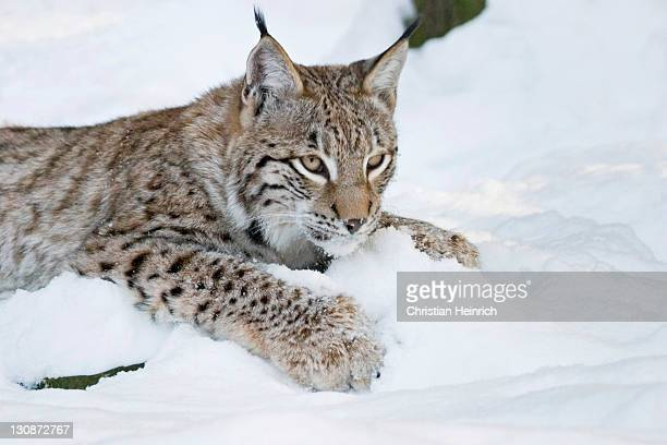 Joung European lynx is playing in the snow (Lynx lynx) Bavaria, Germany