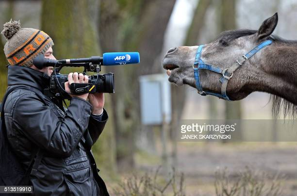 AFP TV journalist Damien Simonart works on a report on March 3 2016 in Poland's stateowned Janow Podlaski Stud Farm famous for its worldclass Polish...