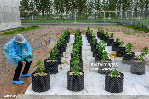 Journalist takes photos of cannabis plants at the Government Pharmaceuticals Organisation medicinal marijuana greenhouse outside Chon Buri, south of...