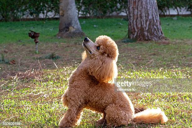 joy toy - miniature poodle stock photos and pictures