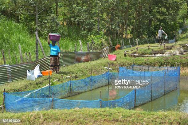 Joyce Makaka carries tilapias at her Jafi Enterprise fish's farm on April 24 in Lurambi Kakamega County western Kenya This project is a beneficiary...