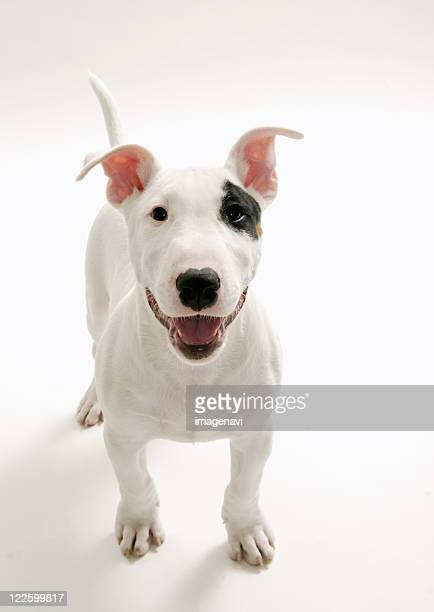 joyful bull terrier - bull terrier stock photos and pictures