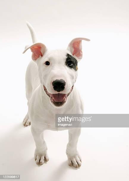 Joyful Bull terrier