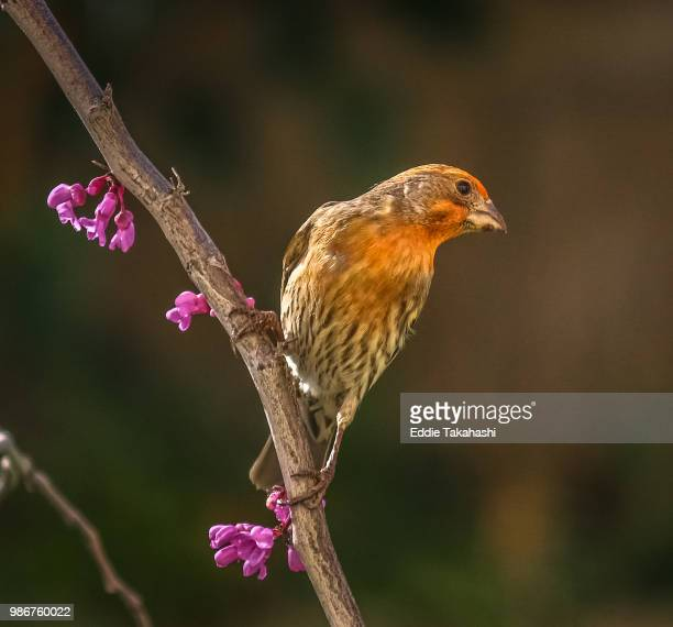 joyful finch in spring garden - house finch stock pictures, royalty-free photos & images