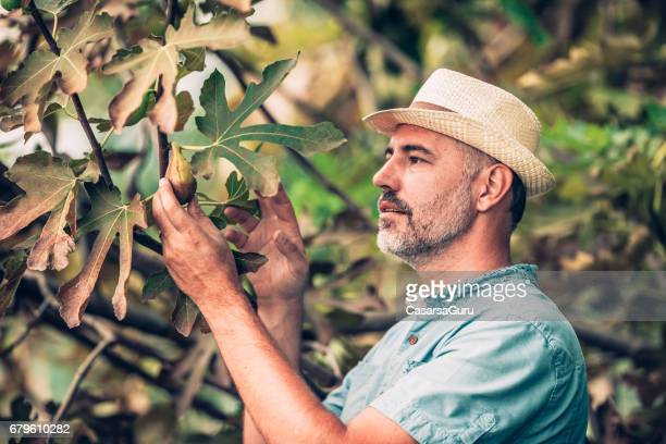 Joyful Man Picking Figs From Fig Tree