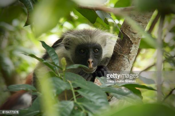 Jozani Forest Red Colobus Monkey