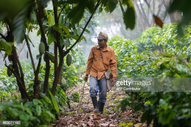 Juan Robleto works at the 'Santa Francisca' farm where coffee rust led to the cutting and burning of coffee trees and where they are now growing...