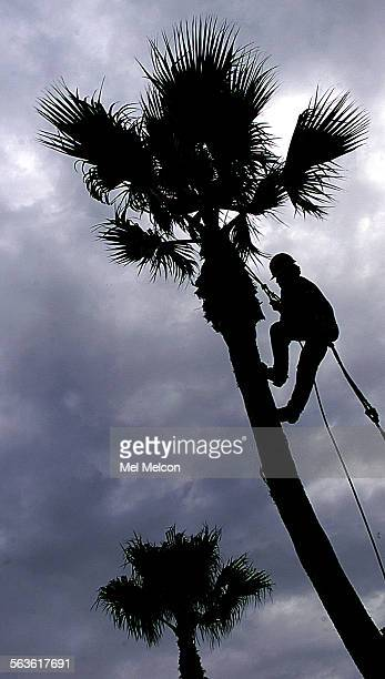 Juan Velasquez climbs up a palm tree in need of a trim, located on Harbor Blvd near Seaward Ave. In Ventura on Wednesday morning. Digital image taken...