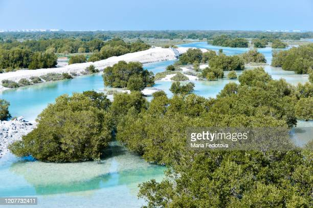 jubail mangrove park, abu dhabi - mangroves stock pictures, royalty-free photos & images