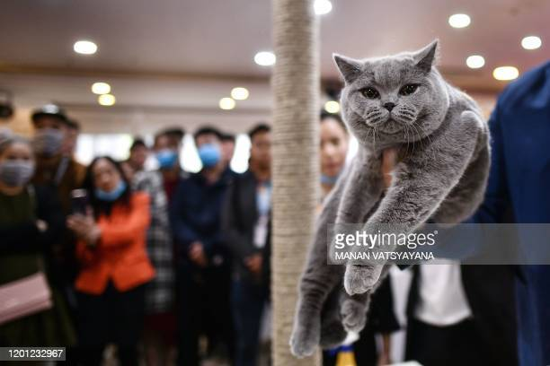Judge holds Diamond, a blue British shorthair cat during Vietnam's first national cat show in Hanoi on February 16, 2020 amid concerns of the...