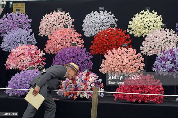 A judge smells a 'Sweetpea' display from Pontefract in West Yorkshire in the main pavilion at the RHS Chelsea Flower Show in London UK on Monday May...