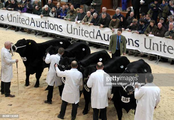 A judge views Aberdeen Angus bulls in the show ground during the Perth Bull Sale held at United Auctions in Stirling Scotland