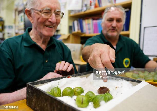 Judges take gooseberries and arrange them prior to being weighed during the annual Egton Bridge gooseberry show on August 06 2019 in Whitby England...