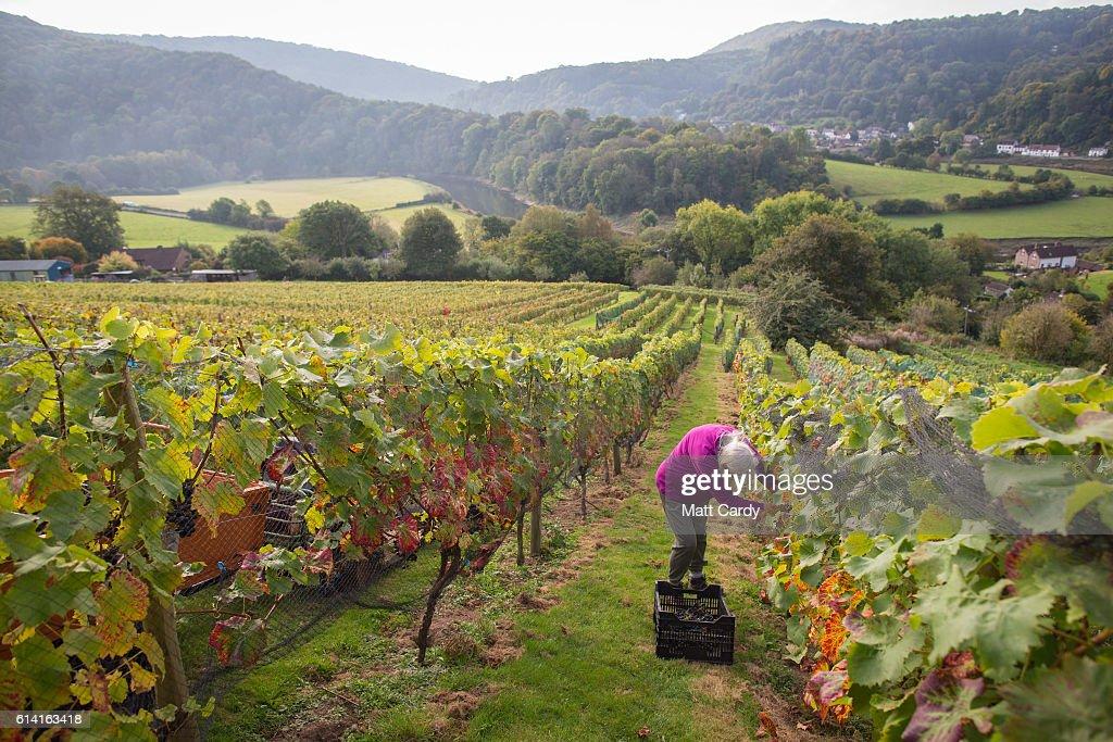 The Grape Harvest Is Gathered At Parva Farm Vineyard : News Photo