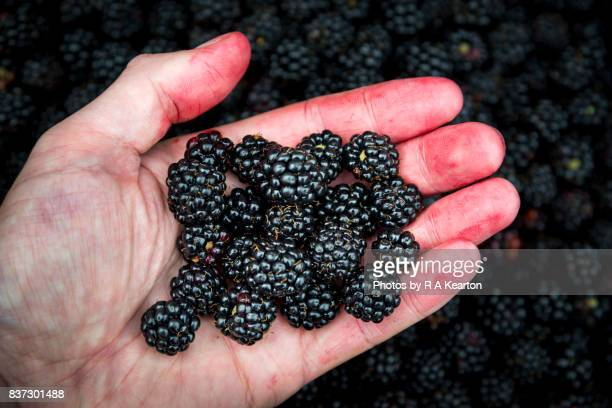 juice stained hand holding freshly picked wild blackberries - human finger stock photos and pictures