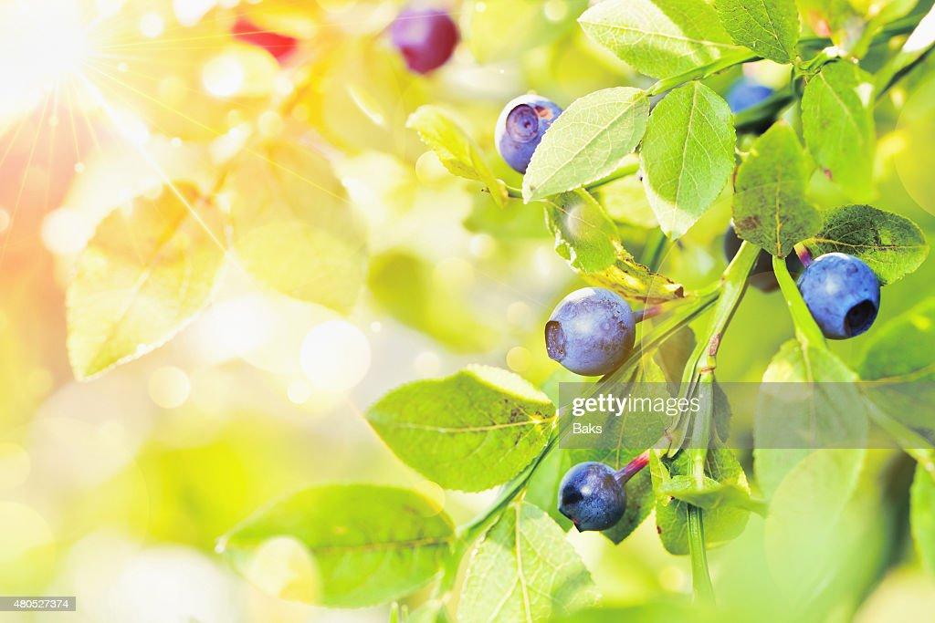 Saftige Blaubeeren mit grünem Salat : Stock-Foto