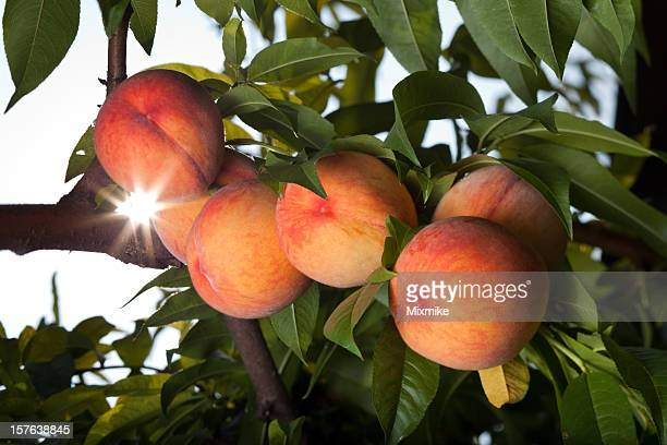 juicy red peaches ripen on the tree - peach tree stock pictures, royalty-free photos & images