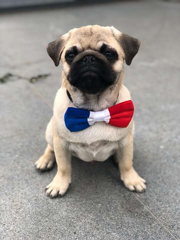 14 Juillet, pug with a french bowtie, france 1161310790