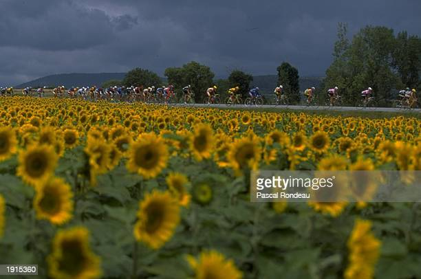 Riders pass by a field of sunflowers during Stage 13 of the Tour de France between St Etienne and L''Alpe d''Huez Mandatory Credit Pascal Rondeau...