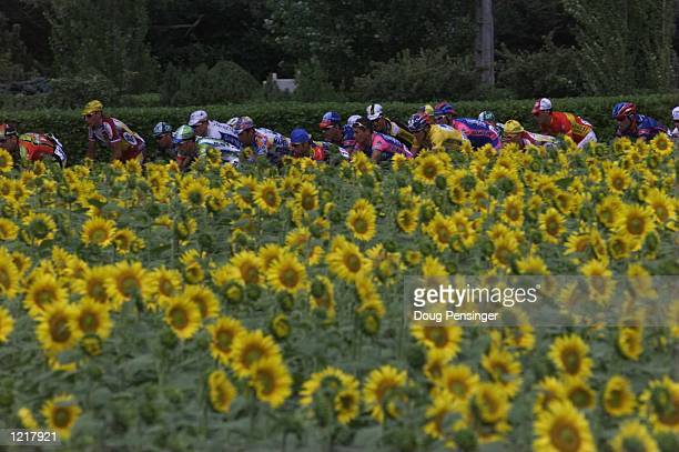 The peleton rides passed sunflower fields during Stage 14 between Castres and St Gaudens in the 1999 Tour De France Mandatory Credit Doug...