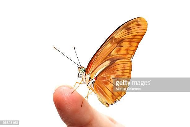 Julia butterfly on finger