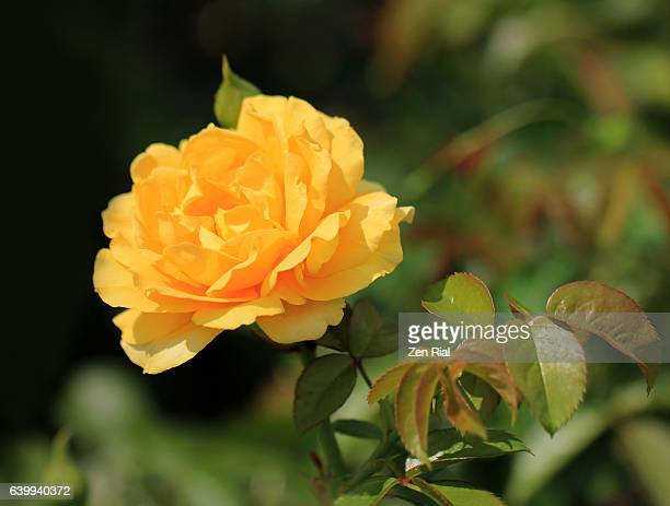 julia child rose, floribunda rose, absolutely fabulous rose, a single yellow rose, cultivar - julia rose stock photos and pictures