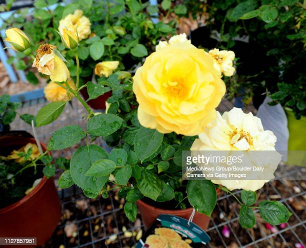 Julia Child roses at Harlequin's Gardens A variety of roses can be found at Harlequin's Gardens in Boulder Plants that last such as roses peonies and...