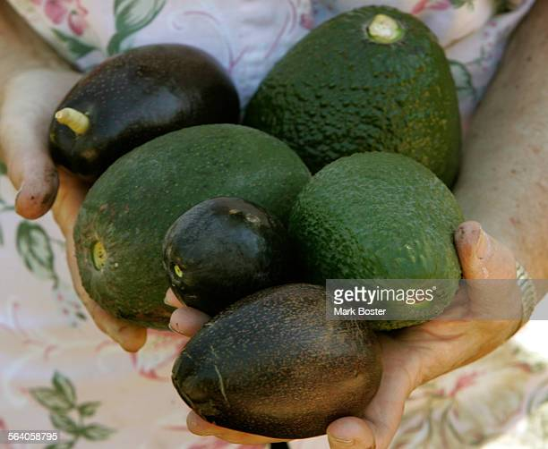 –Julie Frink holds a handful of different avocados including the dark Mexican varieties the Ardith Pinkerton and Haasgrowing in the avocado orchards...