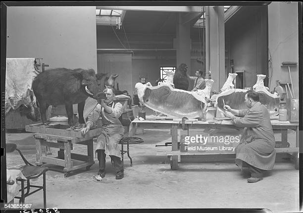 Julius Frieser Leon Walters and Frank Gino work on mounting warthog and babirusa specimens in the taxidermy area on the 4th floor Field Museum...