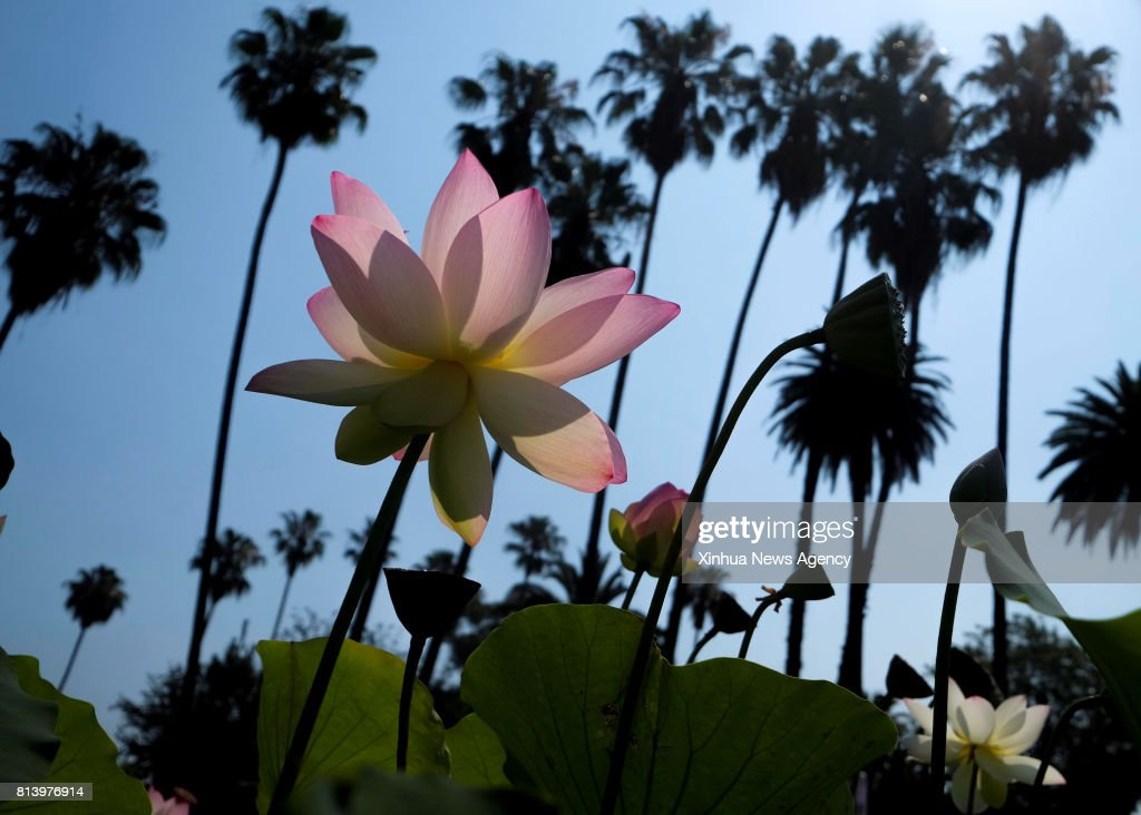 Los Angeles July 13 2017 A Lotus Flower Blossoms At Echo Park