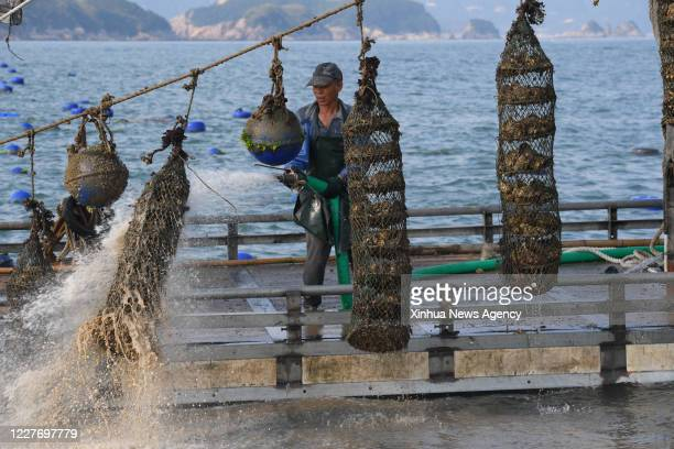 XIAPU July 16 2020 A farmer rinses breeding cages as he harvests oysters in the sea of Changchun Township in Xiapu County southeast China's Fujian...