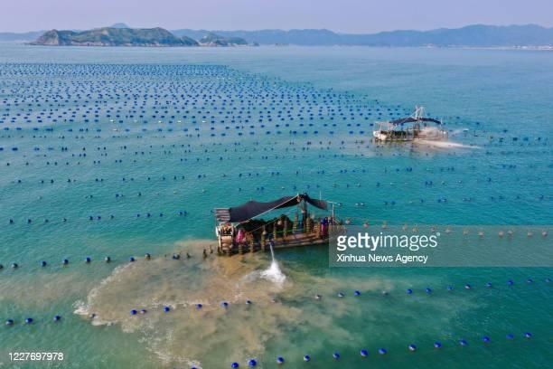 XIAPU July 16 2020 Aerial photo shows farmers harvesting oysters in the sea of Changchun Township in Xiapu County southeast China's Fujian Province...