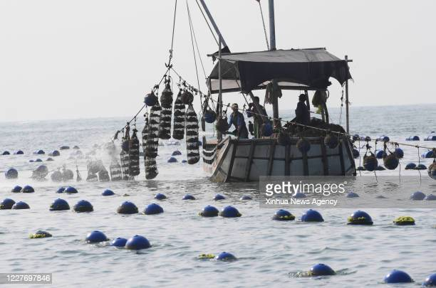 XIAPU July 16 2020 Farmers rinse breeding cages as they harvest oysters in the sea of Changchun Township in Xiapu County southeast China's Fujian...