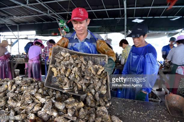 XIAPU July 16 2020 Farmers sort oysters on Yu Kaiming's sorting platform in the sea of Changchun Township in Xiapu County southeast China's Fujian...